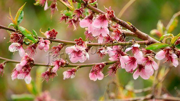 На какие деревья можно привить персик