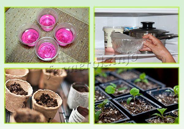 Подготовка семян и рассады