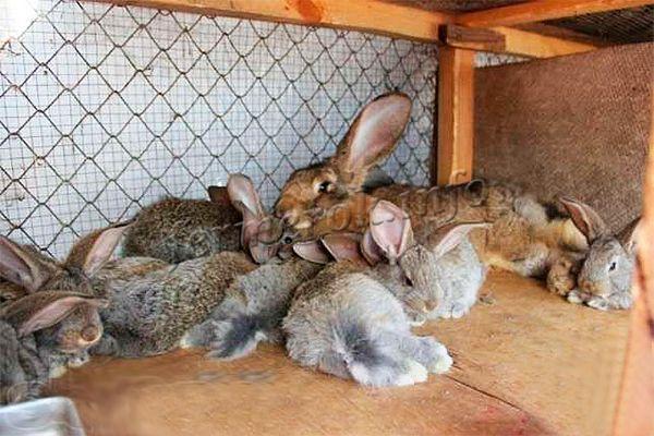 Порода плодовитая. В помете может быть от 8 до 12 кроликов