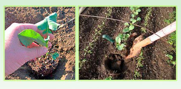 Посадка рассады цветной капусты