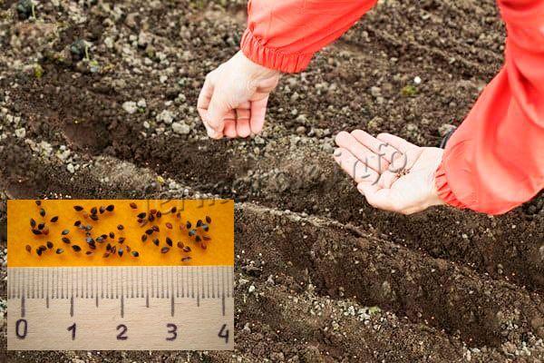 Посадка семян щавеля в землю