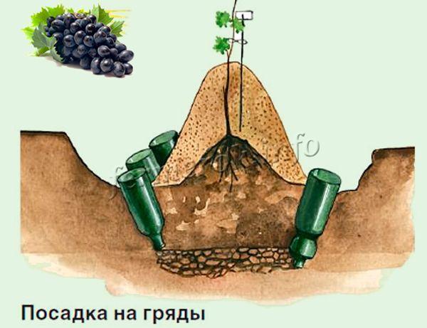 Посадка винограда на гряды
