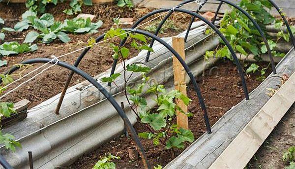 Посадка винограда весной черенками проводится посредством чубуков