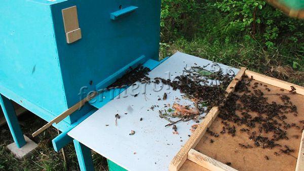 После того, как рой пчел пойман в ловушку, его нужно пересадить в улей