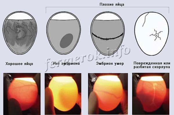 Проверка яиц на наличие зародыша