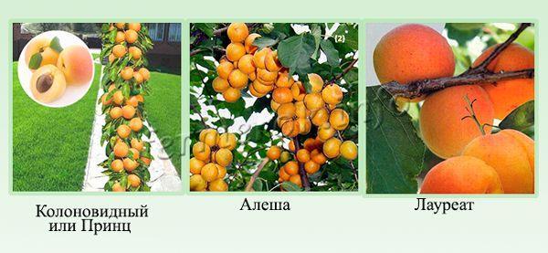 абрикос лауреат описание сорта
