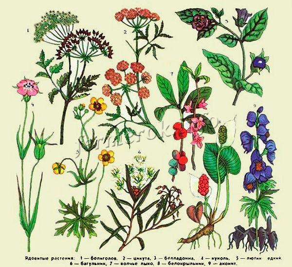 Растения запрещенные для кормления индюков