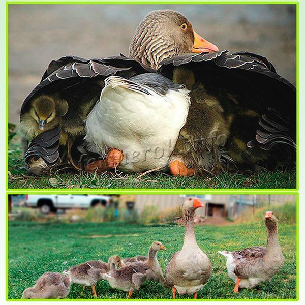 Размножать породу рекомендуется только посредством инкубатора или же использовать для насиживания гусынь других пород