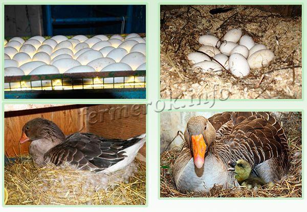 Размножение гусей породы Крупная серая