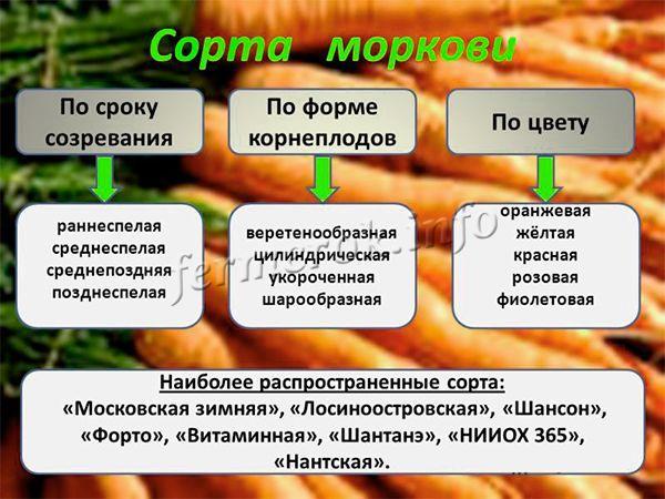Разнообразие сортов моркови