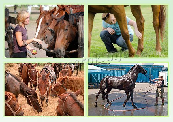 Разведение лошадей предполагает постоянную заботу о них