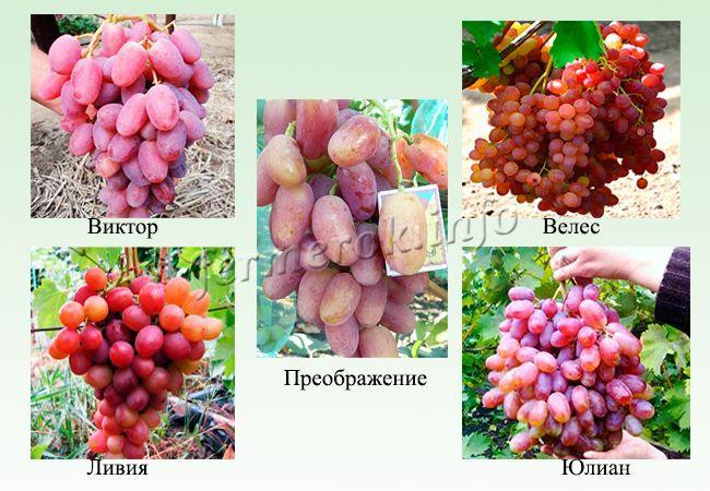 Розовые и красные сорта раннего винограда