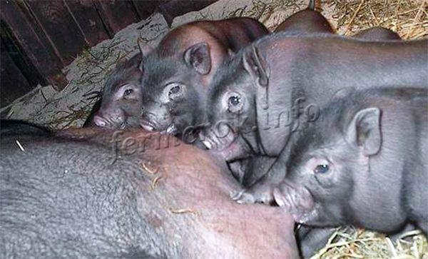 Разведение вьетнамской вислобрюхой свиньи