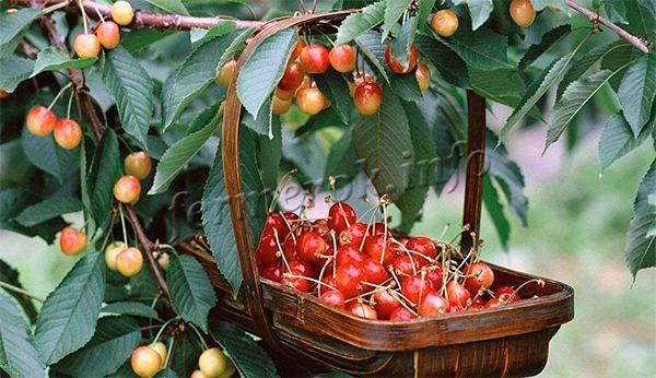 С одного гектара собирают до 50 центнеров урожая или 20-30 кг/дерева