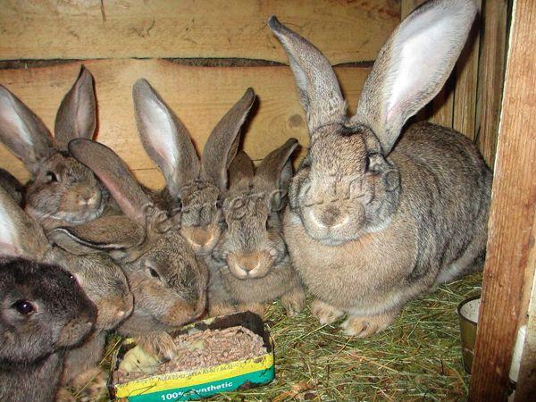 Самка приносит в среднем 8 крольчат за окрол. Очень заботливые мамы