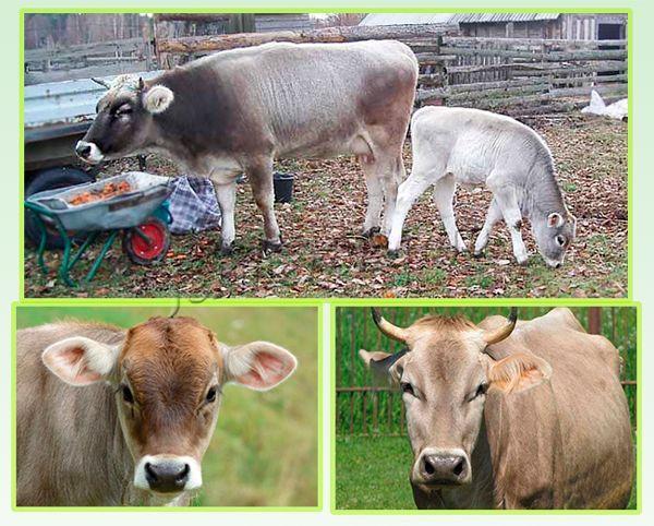Самки, отелившиеся раньше 2-летнего возраста, дают меньше молока, чем те, что дали теленка после 2 лет!