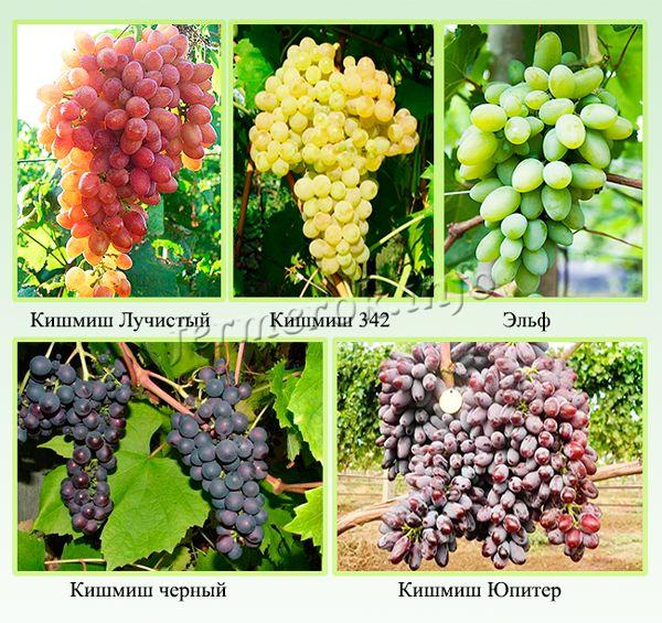 Самые популярные сорта винограда кишмиш