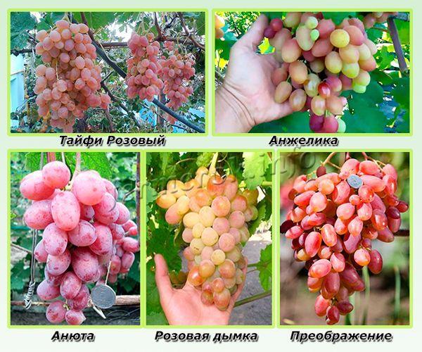 Самые урожайные сорта розового винограда