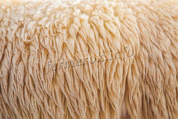 Самым дорогостоящим руном считается то, что острижено с боков, шеи и спины