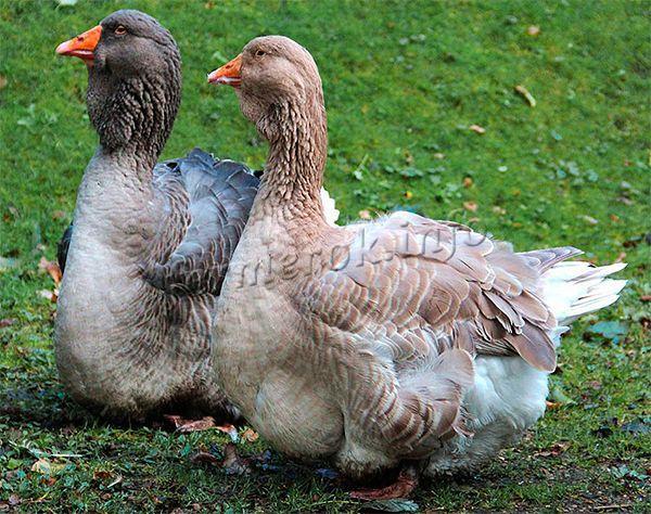 Сегодня Тулузские гуси – настоящая порода тяжеловес в сравнении с иными видами