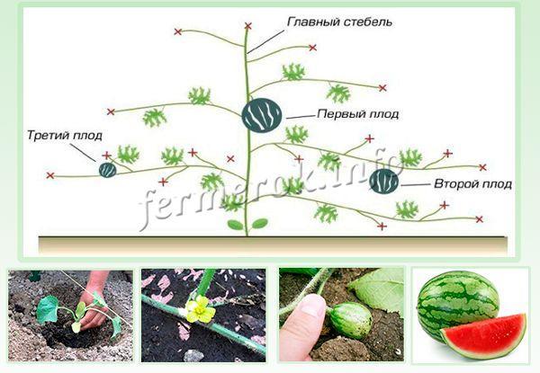 Схема формирования куста арбуза