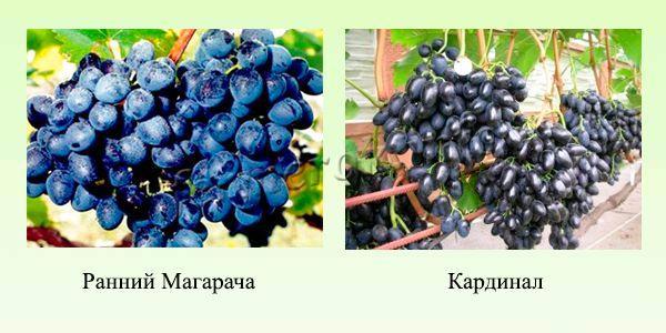 Синие и черные сорта раннего винограда 3