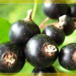 Лучшие сорта черной смородины