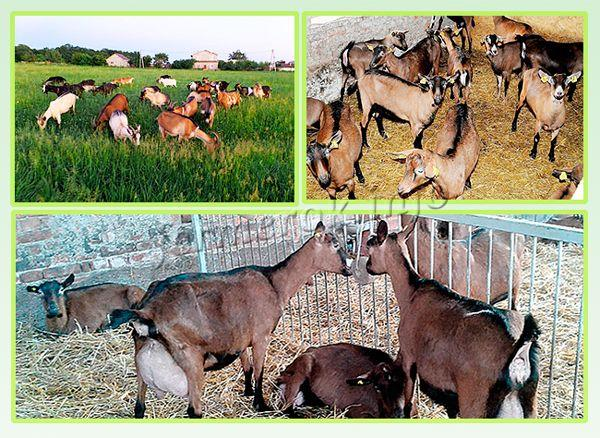 Содержание Альпийской породы коз
