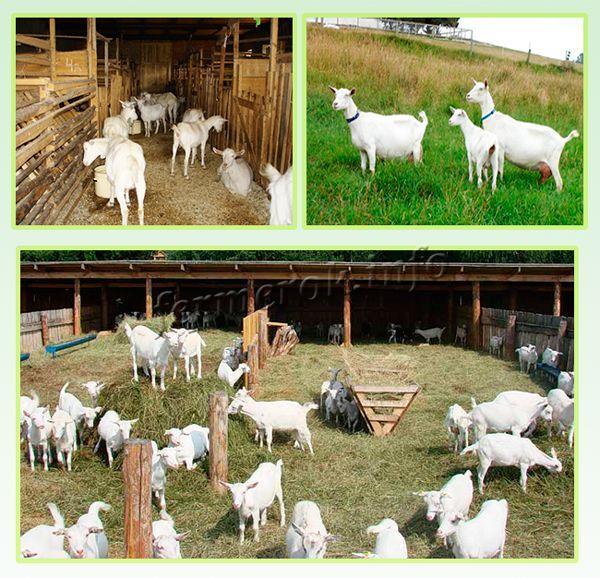 Содержание Зааненской породы коз