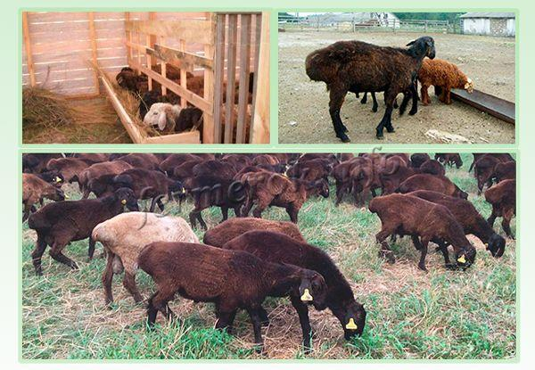 Содержание и уход за овцами