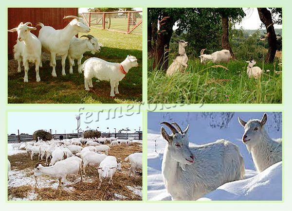 Содержание коз в домашних условиях летом и зимой сильно отличается