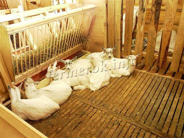 Содержать коз можно в козлятнике, сарае или даже на чердаке
