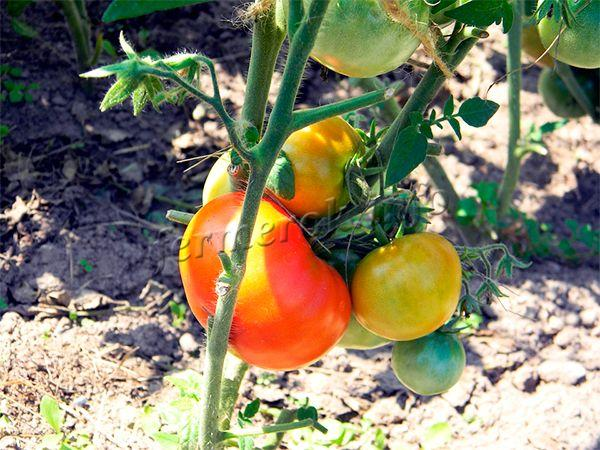 Солнечный свет позволяет томатам быстрее созревать, а также увеличивает их сахаристость