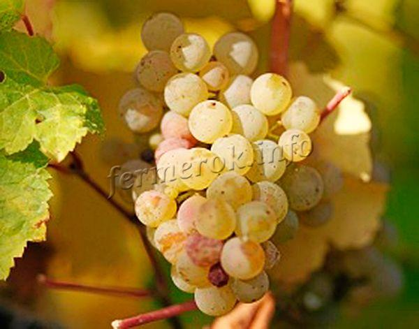 Сорт винограда Александрийский