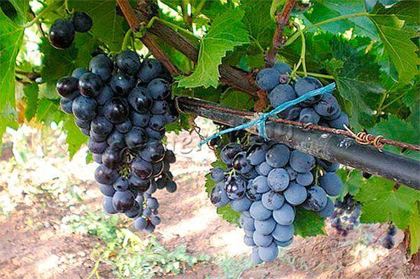 Сорт винограда Гамбургский