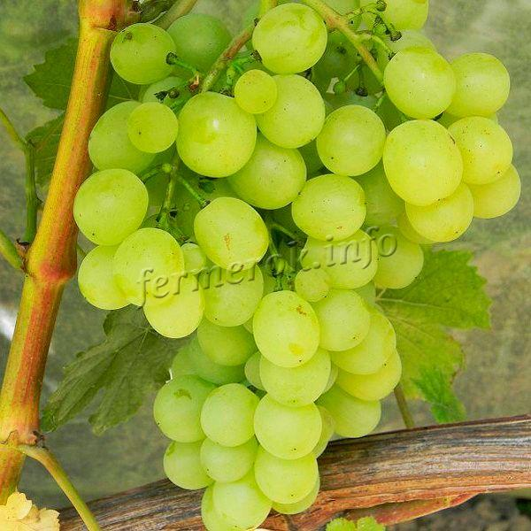 Сорт винограда Плевен мускатный