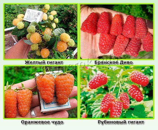 Крупноплодные сорта малины для средней полосы России