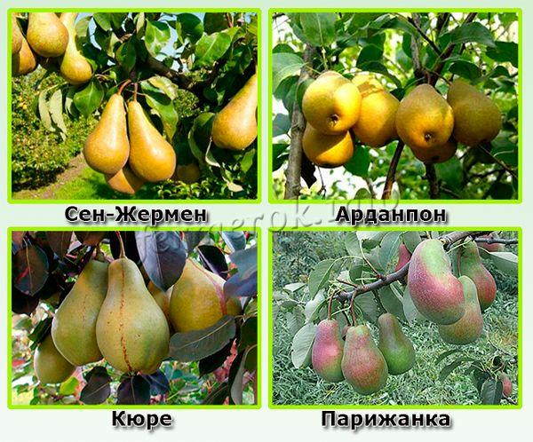 Какие сорта зимних груш самые урожайные