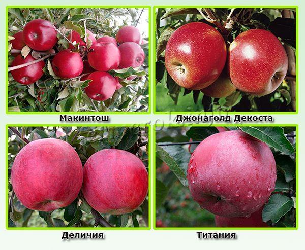 Среднеспелые красные сорта яблок