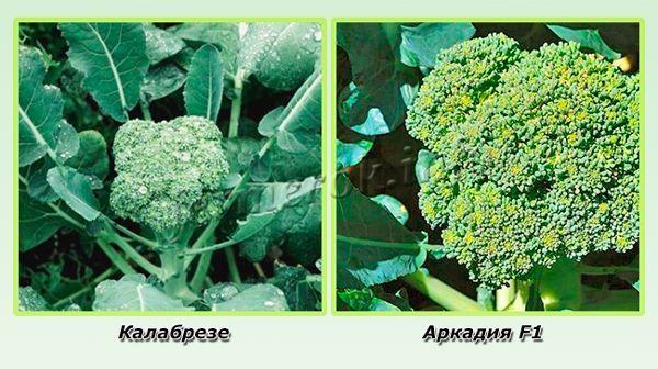 Среднеспелые сорта брокколи