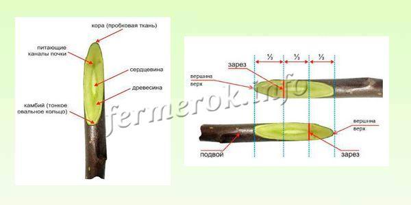 Строение черенка и Схема надреза для копулировки