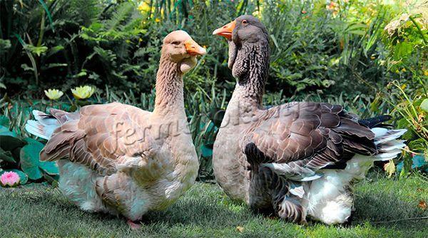 Существует много помесей Тулузских гусей