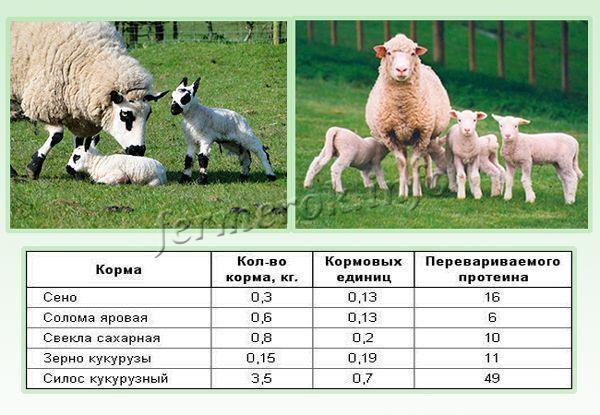 Суточный рацион племенной овцематки