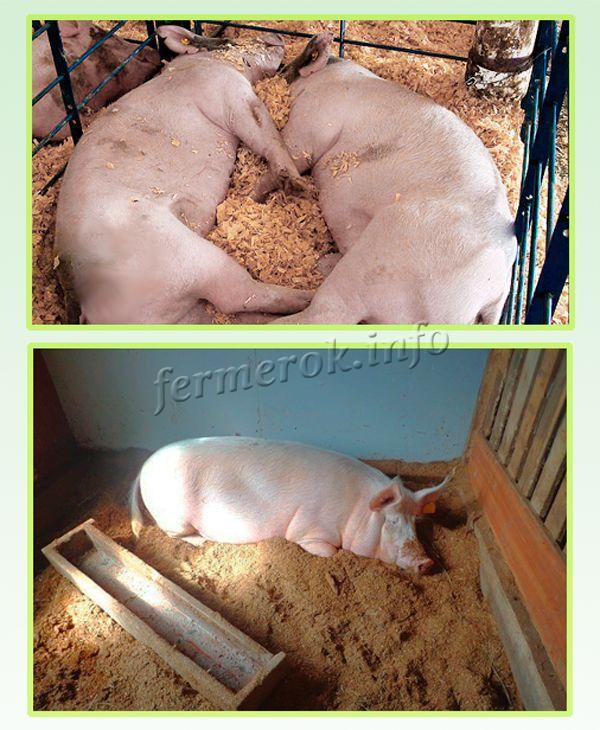 Свинарник должен быть большим, сухим и отапливаемым