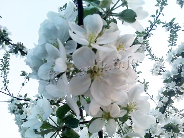 Цветет черешня со второй половины мая