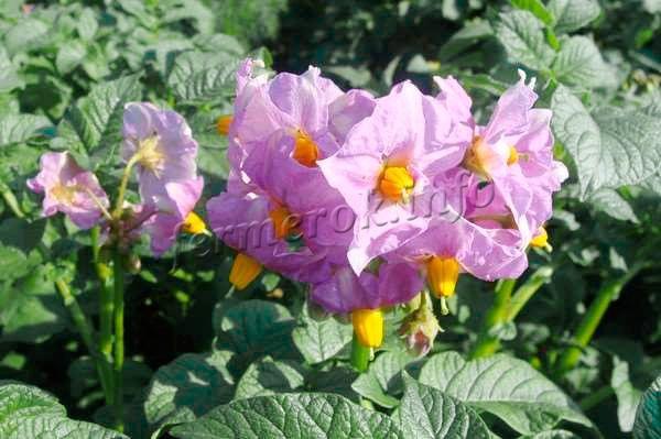 Цветы розово-фиолетового окраса
