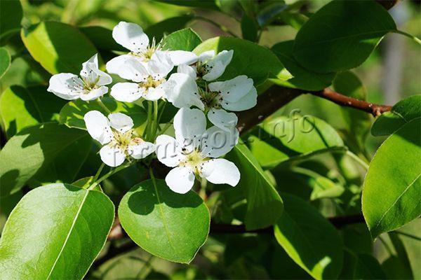 Цветы собраны в соцветия по 5-7 штук