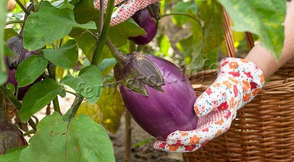 Уборку созревших плодов можно проводить через 30 дней после цветения