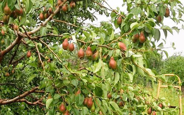 Урожай груши Талгарская красавица можно собирать с конца сентября