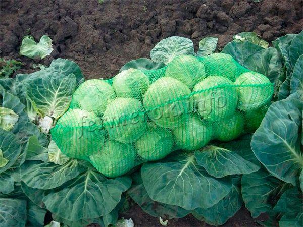 Урожай собирают примерно в августе-сентябре